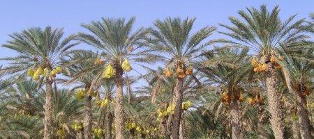La Tunisie Palmiers Dattiers Site Tunisie Retraite Free Fr